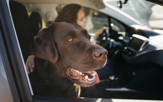 big-black-dog-car